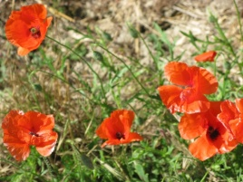 Poppies of Vernon-Giverny with Stourer Martine