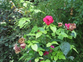 Roses of Vernon-Giverny with Stourer Martine