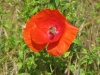 Red poppy flower of Vernon-Giverny with Stourer Martine