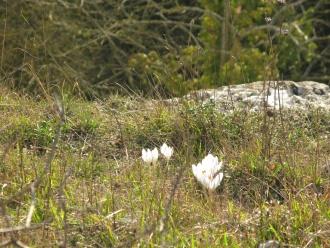 Fleurs blanches sauvages lors de randonnées dominicales dans le Vexin français
